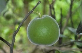 化橘红的功效与作用针对慢性咽炎效果好吗?